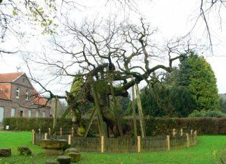 Die 1200 -jährige Fem Eiche mit Stüzen