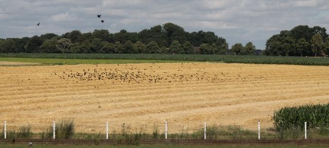 Die Vögel - Erler Felder als Futterplatz Nr. 1 für Dohlen und viele weitere Flugobjekte