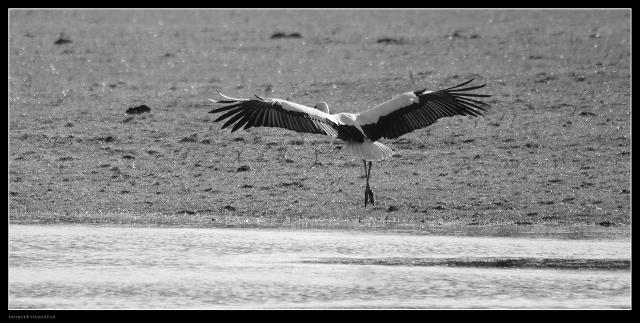 Der Storch ist zurück in Dorsten-Rhade (1)