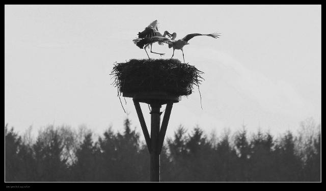 Der Storch ist zurück in Dorsten-Rhade (4)