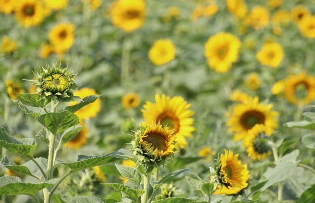 raesfelder-sonnenblumen für Lichtblicke