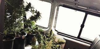 marihuanaplantage-sichergestellt
