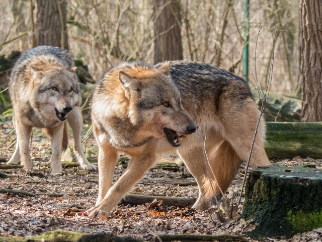Wölfe in der Gemeinde Schermbeck und Naturpark Hohemark Borken