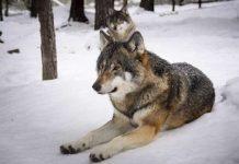 Wolf im Kreis Wesel
