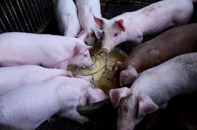 Schweinemast Vreden