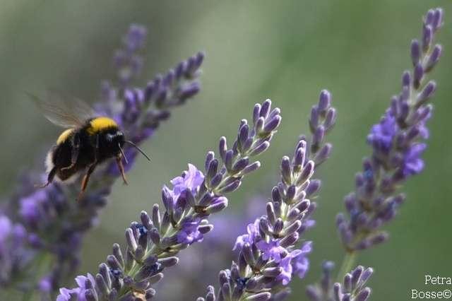 Lavendel für Insekten und gegen EPS