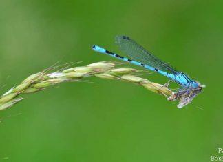 Libelle vor dem aussterben bedroht