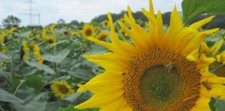 Sonnenblumen-Vreden-Temminghoff