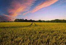 Landwirtschaft Getreide Ernte Münsterland