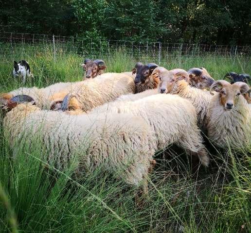 Schafe auf der Heide Schloss Raesfeld 2019