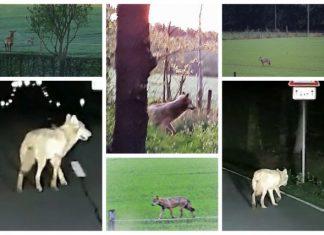 Wolf in Schermbeck Gloria
