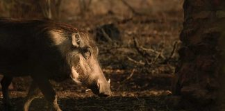 Schweinepest