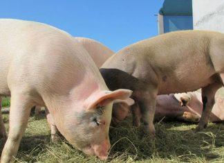 Schweine-Resulotion-Bauern-NRW