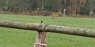 Wölfin Gloria von Wesel im Hünxerwald