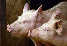 Landwirtschaft Fleisch Preise