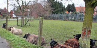 Wölfe in Raesfeld