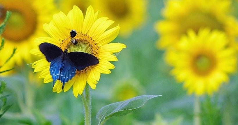 Sonnenblumen gegen das Vergessen