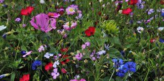 Blühpaten-Erle-Honvehlmann