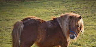 Keine-Tierquälerei-Shetlandpony-Borken