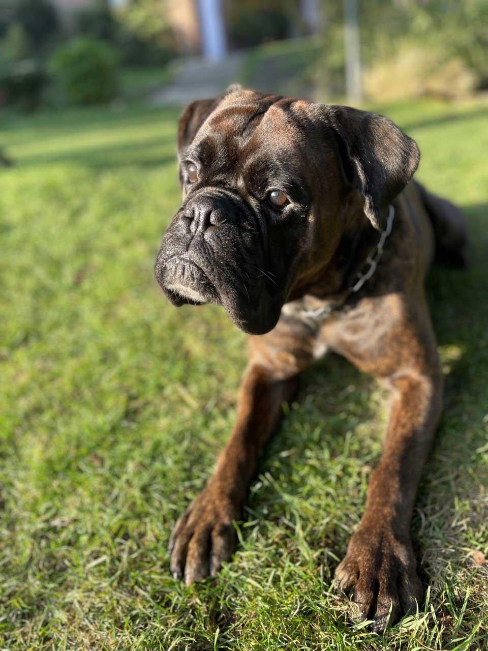 Boxer-Fiete-aus-Raesfeld-Hund