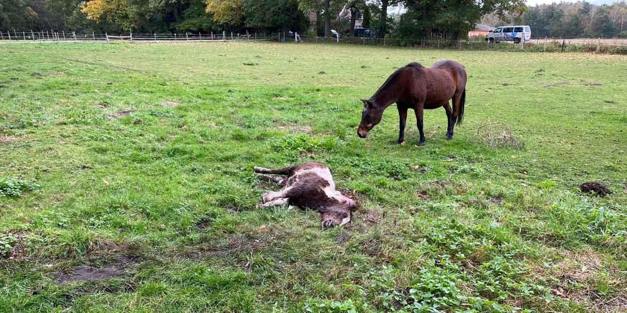 Wolf-reisst-in-Hünxe-ein-Pferd-Pony